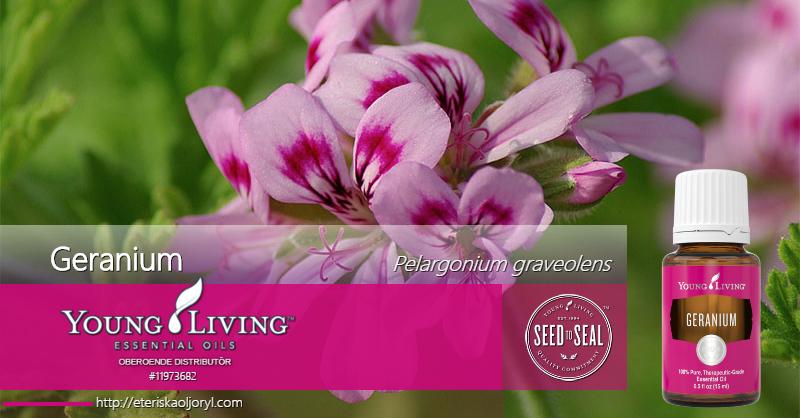 Geranium eterisk olja Pelargonium graveoles