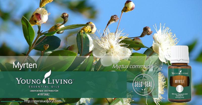 Myrten eterisk olja Myrtus communis
