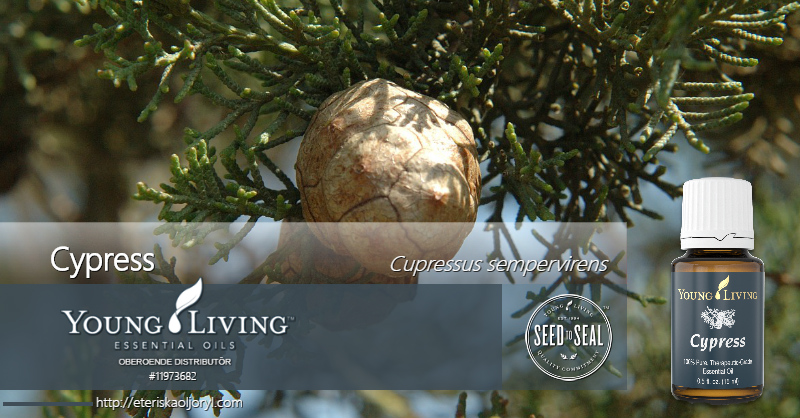 Cypress eterisk olja Cupressus sempervirens
