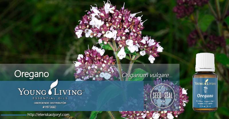 Oregano eterisk olja Origanum vulgare, Origanum onites, Origanum minutiflorum, Origanum majorana