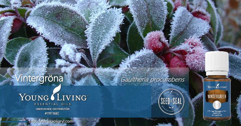Vintergröna eterisk olja Gaultheria procumbens