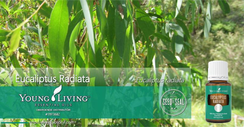 Eucalyptus Radiata eterisk olja