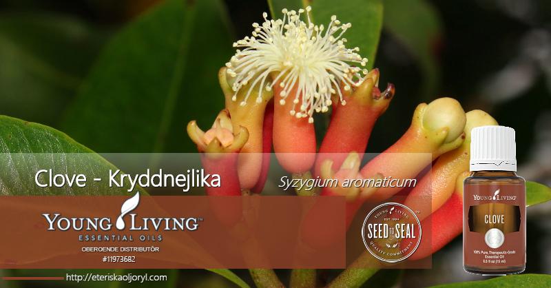 Clove - kryddnejlika eterisk olja Syzygium aromaticum